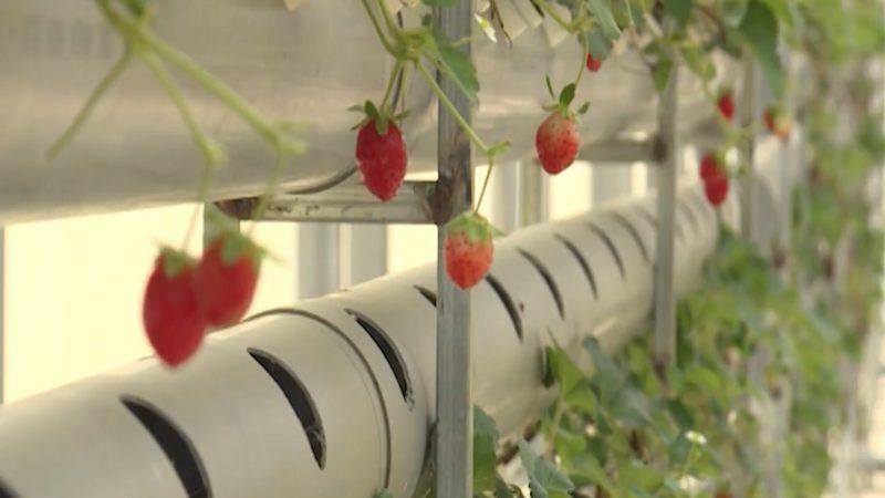 Bình Thuận: Mô hình trồng dâu tây công nghệ cao