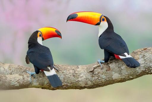 Chim toco toucan sở hữu chiếc mỏ cực kỳ dài và sặc sỡ - Ảnh 3.