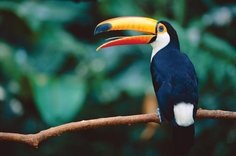 Chim Toco Toucan: Loài chim sở hữu chiếc mỏ dài bằng cơ thể