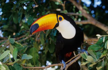 Chim toco toucan sở hữu chiếc mỏ cực kỳ dài và sặc sỡ - Ảnh 6.