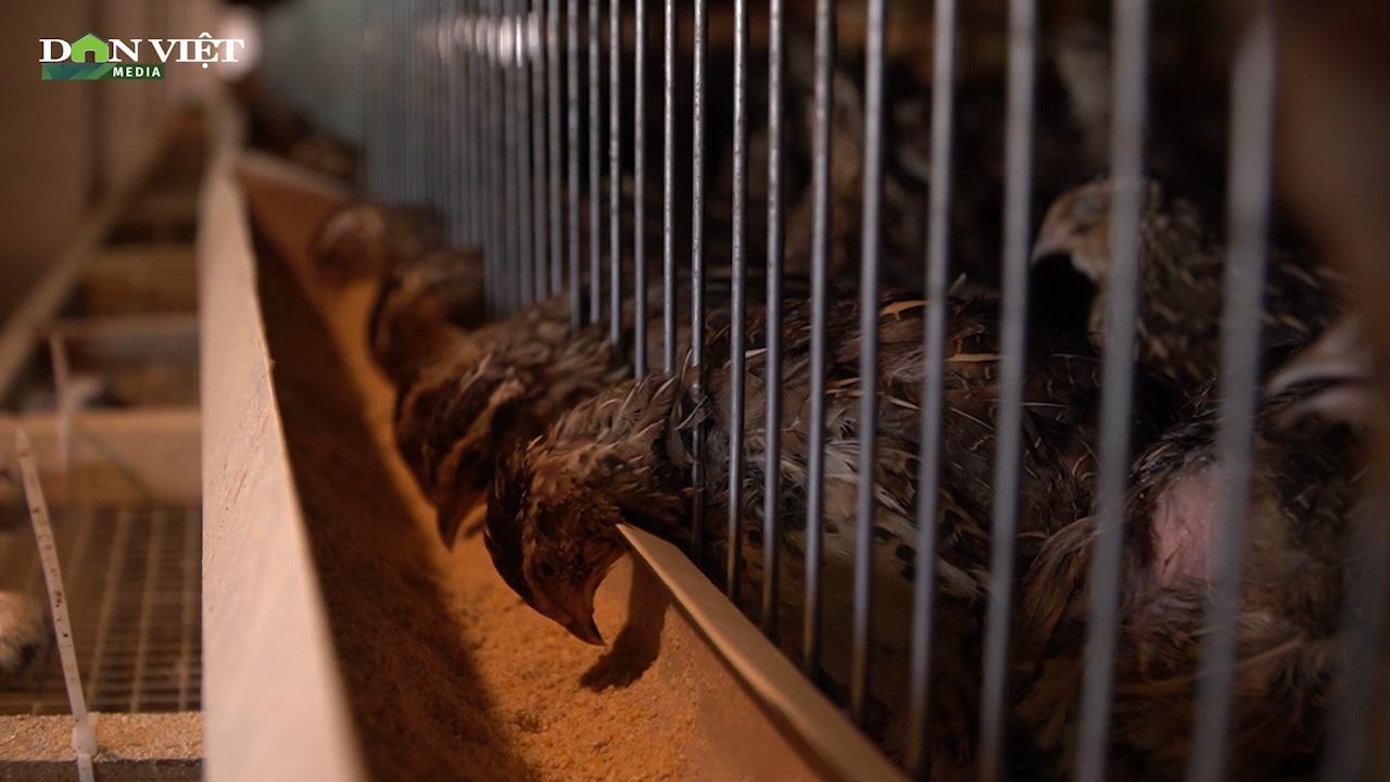 Kỹ thuật làm chuồng nuôi chim cút thịt đem lại hiệu quả kinh tế cao