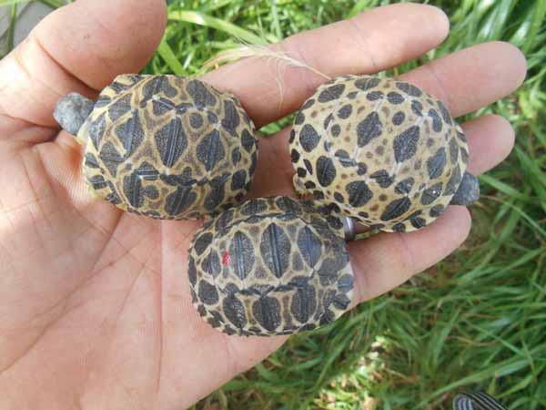 Rùa bức xạ - loài rùa sở hữu những chiếc mai độc đáo đang trên bờ vực tuyệt chủng